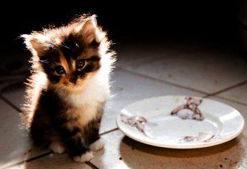 ЖКТ у котенка